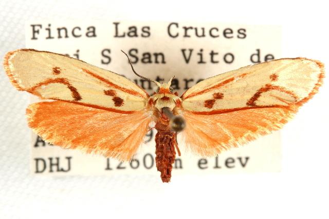 Image of <i>Lactura citrina</i> Busck 1913