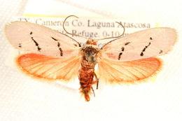 Image of <i>Lactura atrolinea</i> Barnes 1913