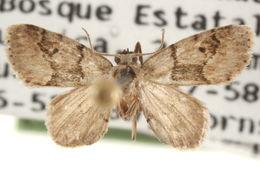 Image of <i>Idaea monata</i> Ramos 1946