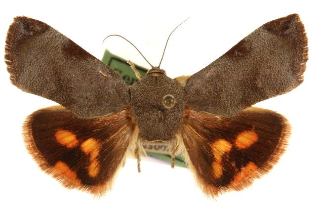 Image of <i>Hyblaea puera complex</i>
