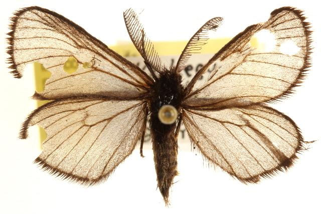 Image of Heterogynis