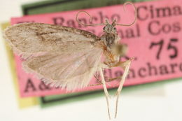 Image of fruitworm moths
