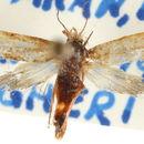 Image of <i>Ochsenheimeria vacculella</i> Fischer von Röslerstamm 1842