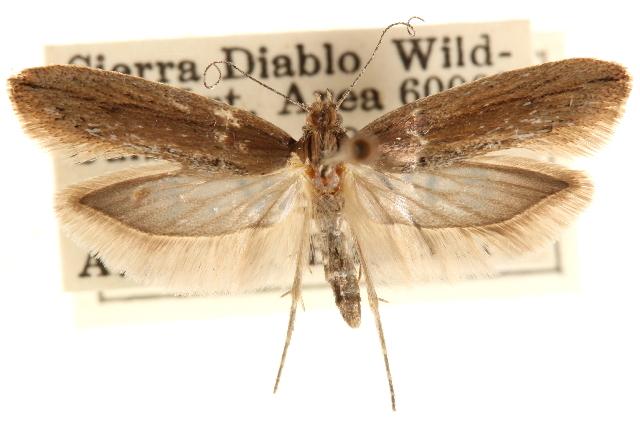Image of <i>Ypsolopha buscki</i>