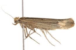 Image of <i>Ypsolopha unicipunctella</i>
