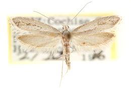 Image of <i>Ypsolopha vintrella</i>
