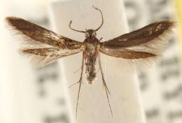 Image of <i>Schreckensteinia erythriella</i> Clemens 1860