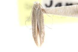 Image of <i>Bedellia minor</i> Busck 1900