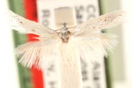 Image of <i>Elachista adianta</i> Kaila