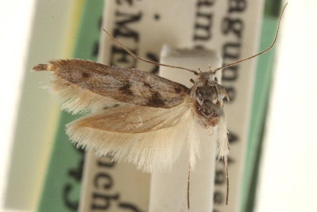 Image of <i>Arotrura atascosa</i>