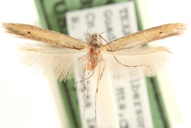 Image of <i>Batrachedra concitata</i> Meyrick 1928