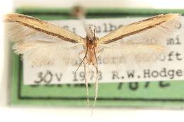 Image of <i>Batrachedra hageter</i> Hodges 1966