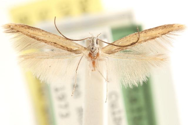 Image of <i>Batrachedra linaria</i> Clarke 1957