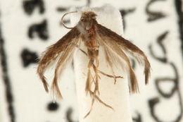 Image of <i>Tischeria immaculata</i> Braun 1915