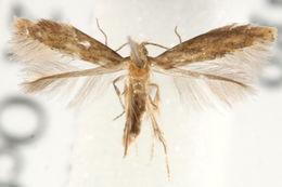 Image of <i>Tischeria melantheranella</i>