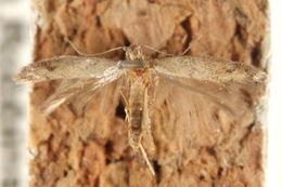 Image of Tischeria