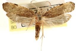 Image of <i>Diataga leptosceles</i> Walsingham 1914