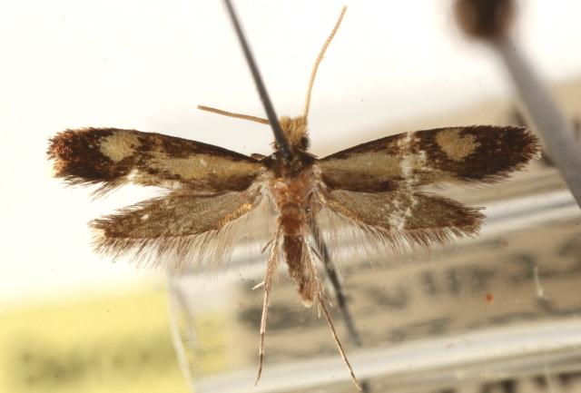 Image of <i>Isocorypha chrysocomella</i> Dietz 1905