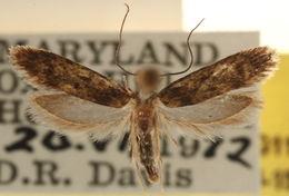 Image of <i>Praeacedes seminolella</i>