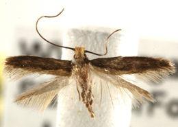 Image of <i>Stenoptinea auriferella</i> (Dietz 1905)