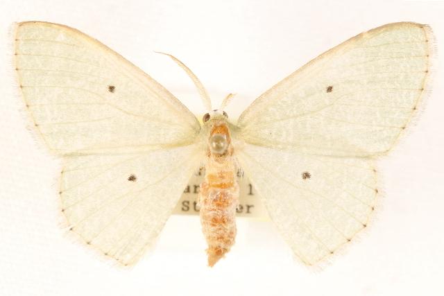 Image of Epigelasma