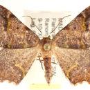 Image of <i>Hypocoela infracta</i> Herbulot 1956