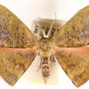 Image of <i>Hypocoela humidaria</i> Swinhoe 1904