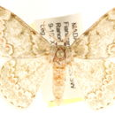 Image of <i>Mimandria insularis</i> Swinhoe 1904