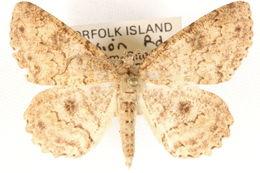 Image of <i>Cleora idiocrossa</i> Turner 1918