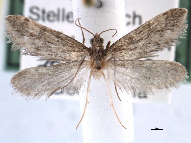 Image of <i>Prototheora petrosema</i> Meyrick 1917
