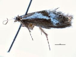 Image of <i>Mnesarchaea paracosma</i> Meyrick 1886