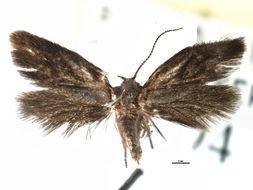 Image of <i>Eucecidoses minutanus</i>