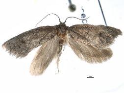 Image of Eucecidoses