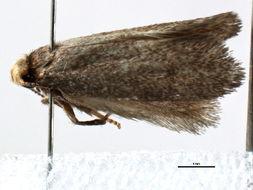 Image of <i>Scyrotis pulleni</i> Mey 2007