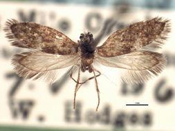 Image of <i>Eriocrania breviapex</i> Davis 1978