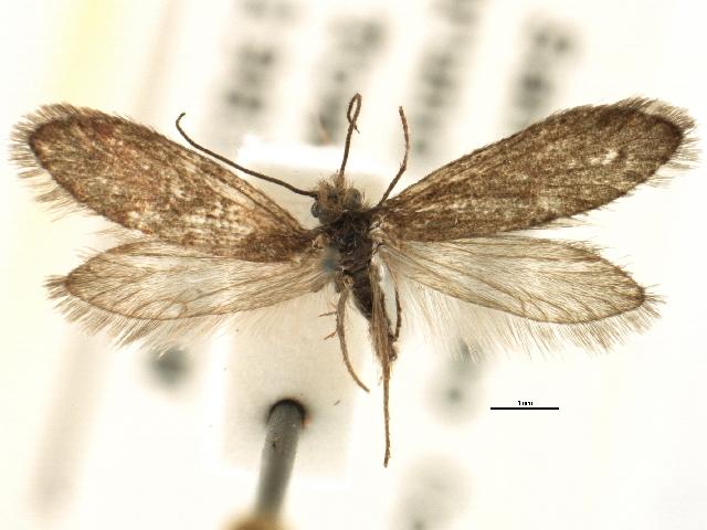 Image of <i>Eriocrania semipurpurella pacifica</i>