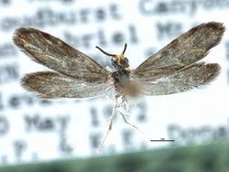 Image of <i>Eriocraniella variegata</i> Davis 1978
