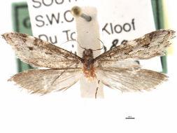 Image of <i>Prototheora cooperi</i> Janse 1942