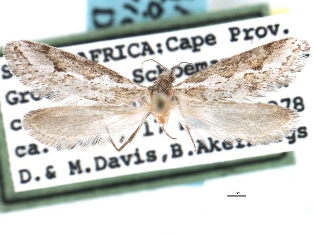 Image of <i>Prototheora geniculata</i> Davis 1996