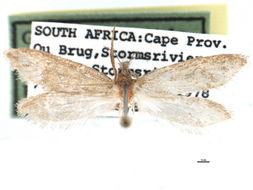Image of <i>Prototheora serruligera</i> Meyrick 1920