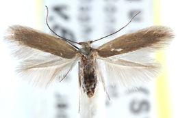 Image of <i>Lyonetia daphneella</i>