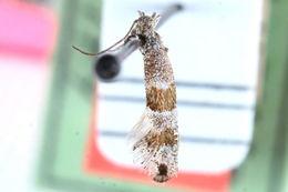 Image of <i>Tinagma brunneofasciatum</i>