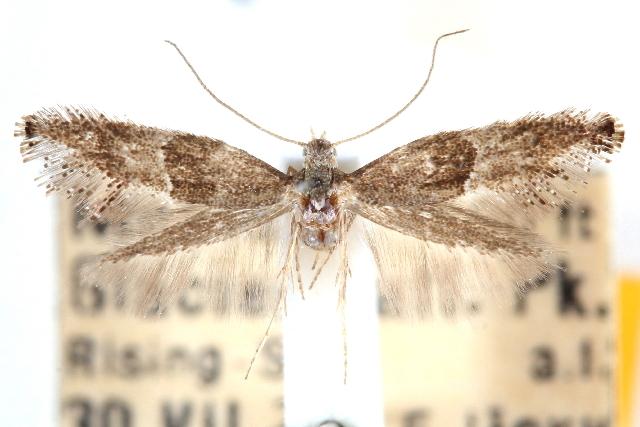 Image of <i>Tinagma giganteum</i>