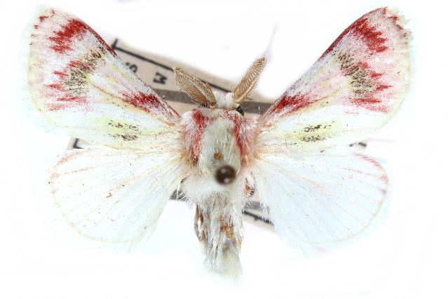 Image of <i>Brachycodilla admirabilis</i>