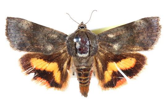 Image of <i>Hyblaea flavipicta</i> Hampson 1910