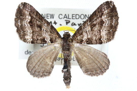 Image of <i>Euphyia perseverata</i> Holloway 1979