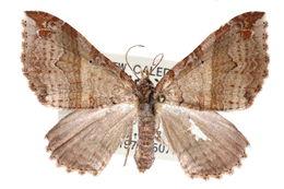 Image of <i>Gonanticlea pulcherrima</i> Holloway 1979