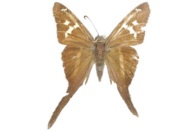 Image of <i>Chioides albofasciatus</i>