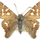 Image of Short-tailed Skipper