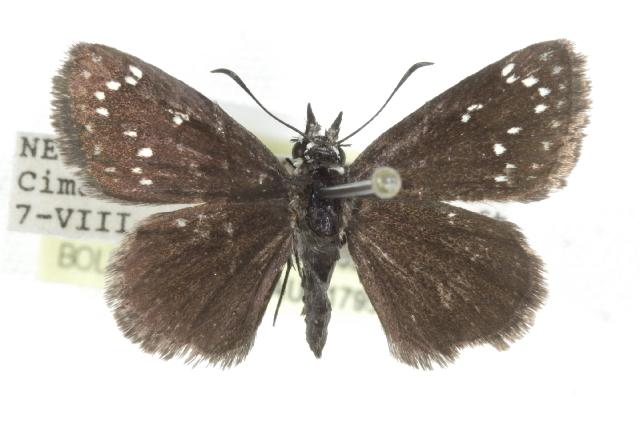 Image of <i>Pholisora mejicanus</i> Reakirt 1866